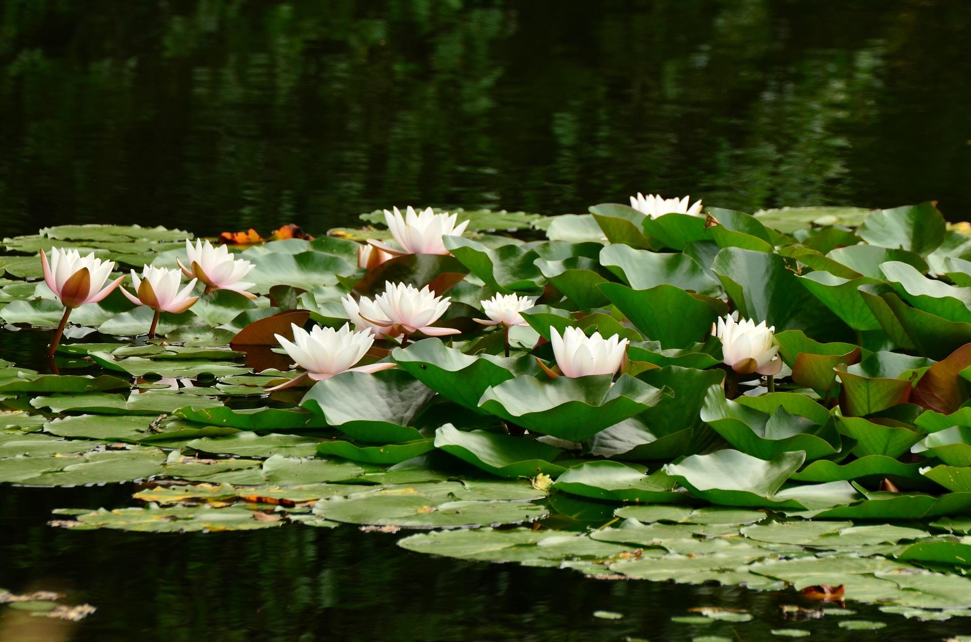Klares Wasser mit den richtigen Teichpflanzen